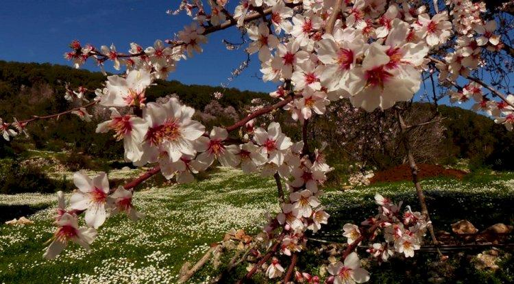 Kaş Çukurbağ Köyü Fotoğrafları - Badem Çiçekleri